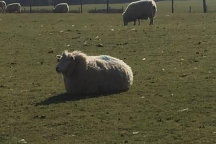 Le boeuf et l'agneau britannique, j'ai été vérifier !