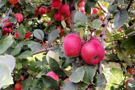 La pomme Ariane une pomme 100% française