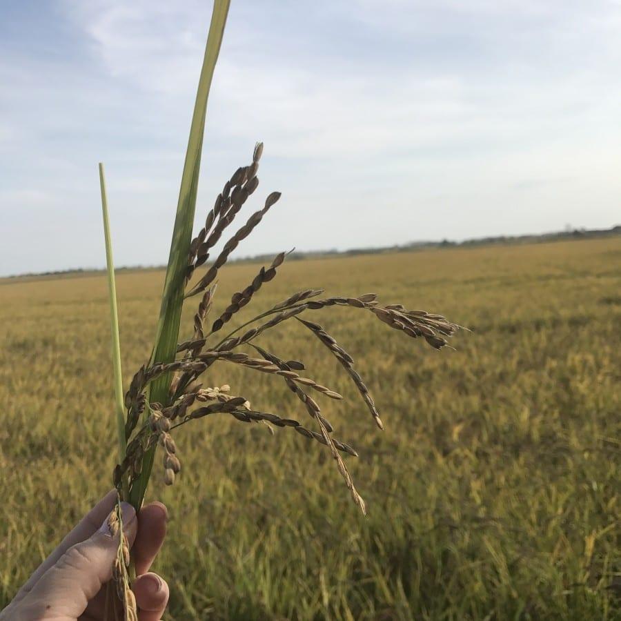 La culture du riz et du risotto Riso Gallo